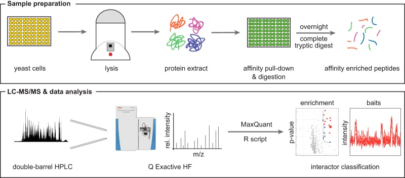 Workflow of the high-throughput LC-MS/MS protein interaction analysis pipeline. Both culturing of yeast cells and affinity purification are performed in 96-well plate format, thus parallelizing sample preparation and minimizing handling errors. LC-MS/MS analysis of 96 pull-down samples in 1 day is achieved through a double-barrel chromatography setup and the increased sequencing speed of the Q Exactive HF mass spectrometer.