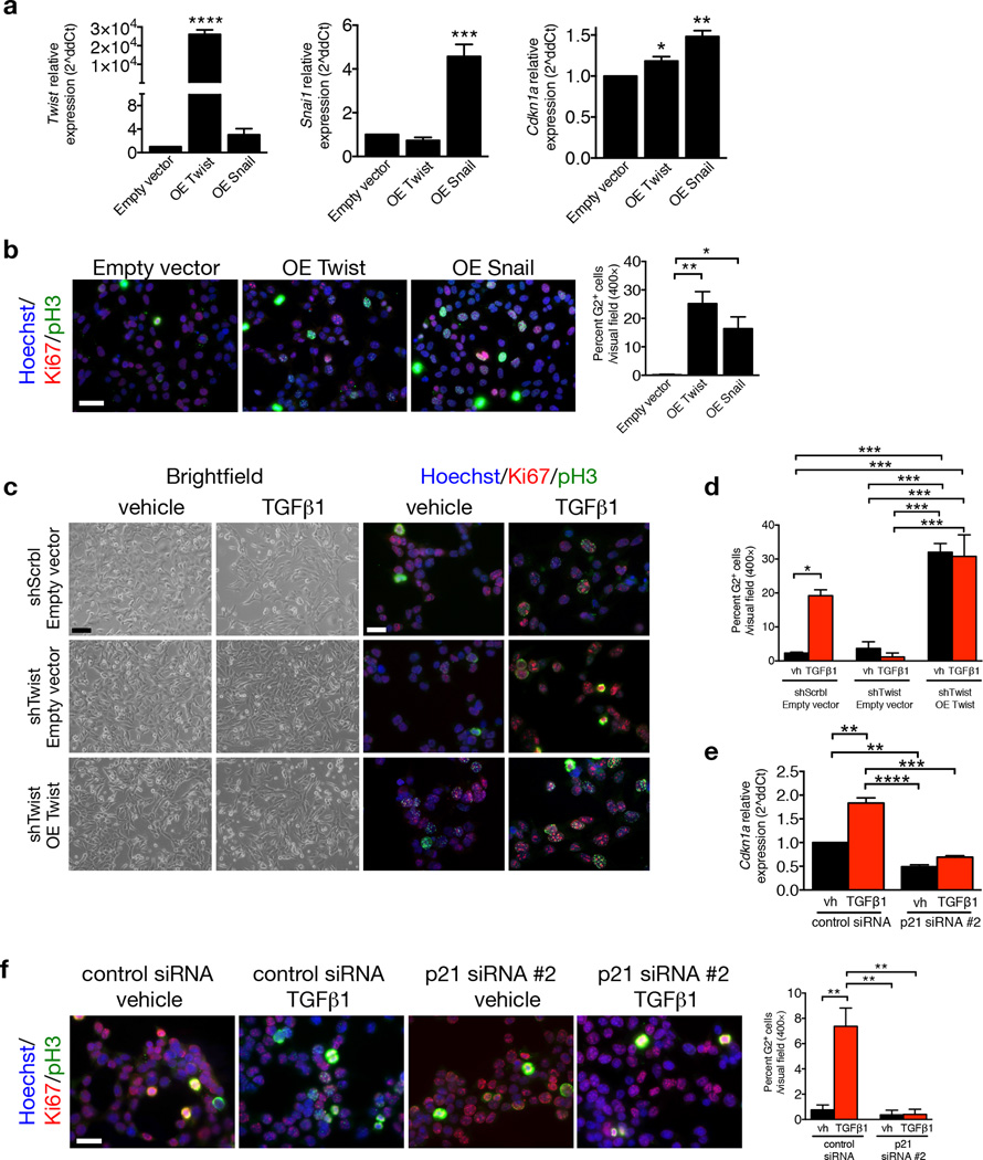 p21 controls EMT program G2 cell cycle arrest. ( a ) Relative expression of Twist1 Snai1 and Cdkn1a (p21) in MCT cells transfected with empty vector, Twist or Snail overexpression vectors, 24 hours post transfection, n = 3. ( b ) Representative images (3 visual fields for each tissue analyzed) of vehicle or MCT cells transfected with empty vector, Twist or Snail overexpression vectors, 24 hours post transfection, immunolabeled for Ki67 and pH3 and respective quantification of the percentage of cells in G2 phase, n = 3. Scale bar: 50 ~m. ( c ) Phase contrast light microscopy and immunolabeling for Ki67 and pH3 of MCT shScrbl and MCT shTwist cells transfected with empty or Twist overexpression (OE Twist) plasmids and treated with vehicle or TGF-β1. ( d ) Quantification of the percentage of empty or Twist OE transfected MCT shScrbl and MCT shTwist cells in G2 phase of the cell cycle comparing cells treated with vehicle or TGF-β1, n = 3. ( e ) Relative expression of Cdkn1a (p21). ( f ) Representative images (3 visual fields for each tissue analyzed) of immunolabeling for Ki67 and pH3 of control or p21 siRNA–transfected MCT cells and percent of cells in G2 phase. Scale bar, 50 ~m. Data is represented as mean ± SEM. Hoechst: nucleus. One–way ANOVA with Tukey post–hoc analysis. b and e , unpaired one–tailed t–test. * P