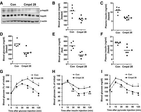 Cmpd 28 treatment improves glucose homeostasis in ob/ob mice. Ten-week-old ob/ob mice were injected with 0.2 mg/kg body wt i.p. cmpd 28 or vehicle (control [Con]) each day for 3 weeks ( n = 5 mice per group). The mice were then assayed for hepatic p-hsp25, total hsp25, and β-actin by immunoblot ( A ). p, phosphorylated. B and C : Ten-week-old ob/ob mice were injected with 0.2 mg/kg body wt i.p. cmpd 28 or vehicle (Con) each day for 2 weeks ( n = 6 mice per group). Blood glucose and plasma insulin levels after a 6-h fast at day 3 are shown (* P
