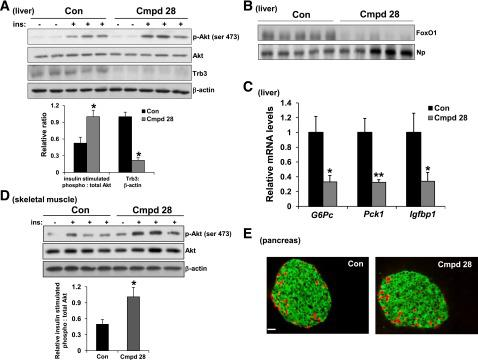 <t>Cmpd</t> 28 treatment improves insulin-induced Akt phosphorylation and lowers the expression of gluconeogenic genes in obese mice. Ten-week-old ob/ob mice were injected with 0.2 mg/kg body wt i.p. cmpd 28 or vehicle (control [Con]) each day for 3 weeks ( n = 5 mice per group). A : The mice were fasted for 6 h and then injected with 2 IU/kg body wt insulin (ins) through the portal vein. After 3 min, livers were harvested, and total liver extracts were assayed for p-Akt, Akt, Trb3, and β-actin by immunoblot. Densitometric quantification of the immunoblot data is shown in the graph (* P