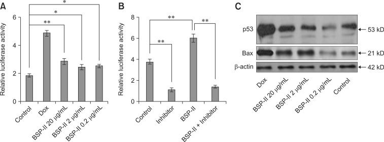 p53 transcription and protein expression after BSP-II treatment. Vero cells were transfected with p53 Luc and pRL-TK plasmid, and then cultured with or without BSP-II for 24 h. p53-luciferase activity levels were then measured (A). The transfected Vero cells were also pre-incubated with α-pifithrin for 2 h, incubated with or without BSP-II (2 µg/mL) for 22 h, and the level of p53-luciferase activity was measured (B). Non-transfected Vero cells were cultured with or without BSP-II for 24 h, and Western blotting analysis was performed to detect p53 and Bax protein expressions (C). Transfected or non-transfected Vero cells were treated with Dox as a positive control. Bars represent the mean ± SD of three independent experiments. * p