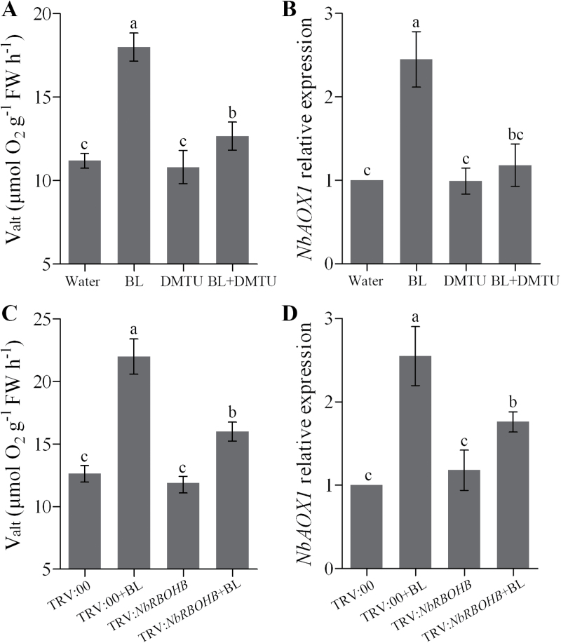 Involvement of H 2 O 2 in the BR-induced alternative respiratory pathway. (A, B) Changes of alternative respiration ( V alt ) (A) and NbAOX1 expression (B) in H 2 O 2 scavenger DMTU pre-treated plants as influenced by 0.1 μM BL. N. benthamiana plants were treated with 5mM DMTU for 8h and then treated with 0.1 μM BL for another 24h. Single treatment of BL or DMTU was included as a control. (C, D) Changes in alternative respiration (C) and NbAOX1 expression (D) in NbRBOHB -silenced plants as influenced by 0.1 μM BL. Bars represent mean and standard deviation of values obtained from three biological repeats. Significant differences ( P
