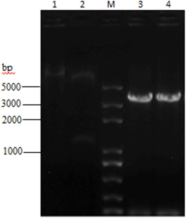 Agarose gel electrophoresis analysis of 3 combinant expression plasmid. The plasmid was confirmed by PCR and double digestion using <t>NcoI</t> and <t>XhoI.</t> Lane 1 was the fragment of recombinant plasmid DNA pTriEx-1.1 Hygro-β 2 -AR. Lane 2 was the electrophoresis results of digested products containing 2 fragments (6951 bp and 1257 bp). A 3300 bp fragment (lane 3 and lane 4) was amplified by PCR from the recombinant plasmid, which was identical with the sum of the size of target gene and vector sequences between NcoI and XhoI.