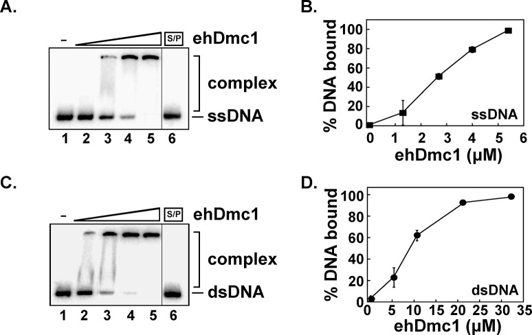 eh Dmc1 binds DNA. A. Increasing concentrations of eh Dmc1 (1.3 μM, lane 2; 2.6 μM, lane 3; 3.9 μM, lane 4; and 5.2 μM, lane 5) were incubated with ssDNA ( 32 P-labeled H3 ssDNA). B. The mean binding percentages were graphed for three independent experiments from A . Error bars represent SEM. C. Increasing concentrations of eh Dmc1 (5.2 μM, lane 2; 10.4 μM, lane 3; 20.8 μM, lane 4; and 31.2 μM, lane 5) were incubated with dsDNA ( 32 P-labeled H3 annealed to H3c). D. The mean binding percentages were graphed for three independent experiments from C . Error bars represent SEM. Lane 1 for A and C is devoid of protein, and lane 6 for A and C was SDS/PK (S/P) treated containing the highest concentration of eh Dmc1.