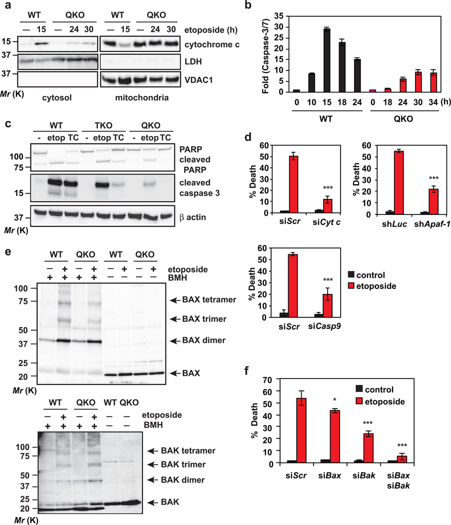 DNA damage activates BAX and BAK-dependent mitochondrial apoptosis in transformed Bid −/− Bim −/− Puma −/− Noxa −/− QKO mouse embryonic fibroblasts (a) SV40-transformed wild-type or Bid −/− Bim −/− Puma −/− Noxa −/− QKO MEFs, untreated or treated with etoposide for the indicated times, were subjected to subcellular fractionation. Cytosolic and mitochondrial fractions were analyzed by anti-cytochrome c, anti-LDH and anti-VDAC1 immunoblots. LDH and VDAC1 serve as cytosolic and mitochondrial controls, respectively. (b) SV40-transformed wild-type or Bid −/− Bim −/− Puma −/− Noxa −/− QKO MEFs, untreated or treated with etoposide for the indicated times, were analyzed for Caspase-3/7 activities (mean ± s.d., n = 3 independent experiments). (c) SV40-transformed wild-type, Bid −/− Bim −/− Puma −/− TKO, or Bid −/− Bim −/− Puma −/− Noxa −/− QKO MEFs, untreated or treated with etoposide (etop) or tunicamycin (TC), were analyzed by anti-PARP, anti-cleaved Caspase-3, and anti-actin immunoblots. (d) SV40-transformed Bid −/− Bim −/− Puma −/− Noxa −/− QKO MEFs were infected with retrovirus expressing shRNA against luciferase or Apaf-1 , or transfected with scrambled siRNA (siScr) or siRNA against Cytochrome c or Caspase-9 . After 48 h, cells were untreated or treated with etoposide for 36 h. Cell death was quantified by annexin-V staining (mean ± s.d., n = 3 independent experiments). (e) Mitochondria isolated from SV40-transformed wild-type or Bid −/− Bim −/− Puma −/− Noxa −/− QKO MEFs untreated or treated with etoposide for 15 h (WT) or 36 h (QKO) were subjected to BMH crosslinking. The BAX and BAK homo-oligomers were detected by anti-BAX and anti-BAK immunoblots, respectively. (f) SV40-transformed Bid −/− Bim −/− Puma −/− Noxa −/− QKO MEFs were transfected with scrambled siRNA (siScr) or siRNA against Bax and/or Bak . After 48 h, cells were untreated or treated with etoposide for 36 h. Cell death was quantified by annexin-V staining (mean ± s.d., n = 3 independent experiments). *, P