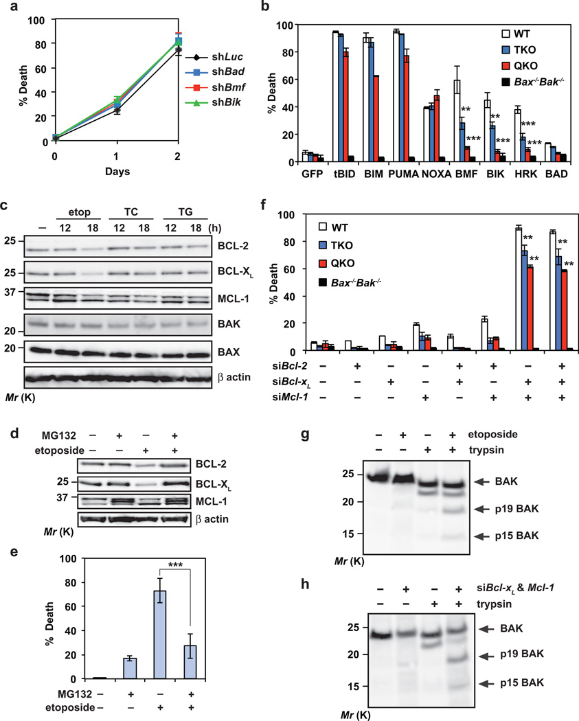 BAX and BAK can be autoactivated by DNA damage independently of activators BID, BIM, PUMA and NOXA through downregulation of BCL-2, BCL-X L and MCL-1 (a) SV40-transformed Bid −/− Bim −/− Puma −/− Noxa −/− QKO MEFs were infected with retrovirus expressing shRNA against luciferase, Bad, Bmf or Bik . After 48 h, cells were untreated or treated with etoposide for 36 h. Cell death was quantified by annexin-V staining (mean ± s.d., n = 3 independent experiments). (b) SV40-transformed wild-type, Bid −/− Bim −/− Puma −/− TKO, Bid −/− Bim −/− Puma −/− Noxa −/− QKO, or Bax −/− Bak −/− MEFs were infected with retrovirus expressing GFP or the indicated BH3-only proteins to induce spontaneous apoptosis. NOXA denotes human NOXA. Cell death was quantified by annexin-V staining at 30 h (mean ± s.d., n = 3 independent experiments). (c) SV40-transformed Bid −/− Bim −/− Puma −/− Noxa −/− QKO MEFs, untreated or treated with etoposide, tunicamycin (TC) or <t>thapsigargin</t> (TG), were subjected to immunoblot analysis using the indicated antibodies. (d) SV40-transformed Bid −/− Bim −/− Puma −/− Noxa −/− QKO MEFs were untreated or treated with etoposide and/or MG132 for 18h, and subjected to immunoblot analysis using the indicated antibodies. (e) SV40-transformed Bid −/− Bim −/− Puma −/− Noxa −/− QKO MEFs were untreated or treated with etoposide and/or MG132 for 36h. Cell death was quantified by annexin-V staining (mean ± s.d., n = 3 independent experiments). (f) SV40-transformed wild-type, Bid −/− Bim −/− Puma −/− TKO, Bid −/− Bim −/− Puma −/− Noxa −/− QKO, or Bax −/− Bak −/− MEFs were transfected with scrambled siRNA (siScr) or siRNA against Bcl-2, Bcl-x L and/or Mcl-1 to induce spontaneous apoptosis. After 2 days, cell death was quantified by annexin-V staining (mean ± s.d., n = 3 independent experiments). (g) SV40-transformed Bid −/− Bim −/− Puma −/− Noxa −/− QKO MEFs were untreated or treated with etoposide in the presence of the pancaspase inhibitor Q-VD-OPh to preserve cell integrity upon apoptosis induction. After 24 h, cells were permeabilized with digitonin and subjected to limited trypsin proteolysis. The BAK cleavage products were detected by an anti-BAK (G23) immunoblot. (h) SV40-transformed Bid −/− Bim −/− Puma −/− Noxa −/− QKO MEFs transfected with scrambled siRNA or siRNA against Bcl-x L and Mcl-1 were subjected to limited trypsin proteolysis. The BAK cleavage products were detected by an anti-BAK (G23) immunoblot. **, P