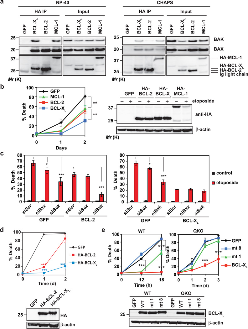 BCL-X L is superior to BCL-2 and MCL-1 in preventing DNA damage-induced apoptosis due to its dual inhibition of BAX and BAK as well as higher protein stability (a) SV40-transformed Bid −/− Bim −/− Puma −/− Noxa −/− QKO MEFs stably expressing GFP, HA-BCL-2, HA-BCL-X L or HA-MCL-1 were subjected to anti-HA immunoprecipitation in 0.2% NP-40 or 1% CHAPS lysis buffer. The input (5%) and immunoprecipitates were analyzed by anti-BAX, anti-BAK, and anti-HA immunoblots. (b) SV40-transformed Bid −/− Bim −/− Puma −/− Noxa −/− QKO MEFs stably expressing GFP, HA-BCL-2, HA-BCL-X L or HA-MCL-1 were untreated or treated with etoposide. Cell death was quantified by annexin-V staining at the indicated times (mean ± s.d., n = 3 independent experiments). The expression of HA-BCL-2, HA-BCL-X L or HA-MCL-1 was detected by an anti-HA immunoblot with or without etoposide treatment for 12 h. (c) SV40-transformed Bid −/− Bim −/− Puma −/− Noxa −/− QKO MEFs stably expressing GFP, BCL-2 or BCL-X L were transfected with scrambled siRNA (siScr) or siRNA against Bax or Bak . After 48 h, cells were untreated or treated with etoposide for 36 h. Cell death was quantified by annexin-V staining (mean ± s.d., n = 3 independent experiments). (d) SV40-transformed wild-type MEFs stably expressing HA-tagged BCL-2 or BCL-X L were untreated or treated with etoposide. Cell death was quantified by annexin-V staining at the indicated times (mean ± s.d., n = 3 independent experiments). The expression of HA-tagged BCL-2 and BCL-X L was detected by an anti-HA immunoblot. (e) SV40-transformed wild-type or Bid −/− Bim −/− Puma −/− Noxa −/− QKO MEFs stably expressing GFP, wild-type BCL-X L , BCL-X L mutant 1 (F131V/D133A) or BCL-X L mutant 8 (G138E/R139L/I140N) were untreated or treated with etoposide. Cell death was quantified by annexin-V staining at the indicated times (mean ± s.d., n = 3 independent experiments). The expression of BCL-X L was analyzed by an anti-BCL-X L immunoblot. *, P