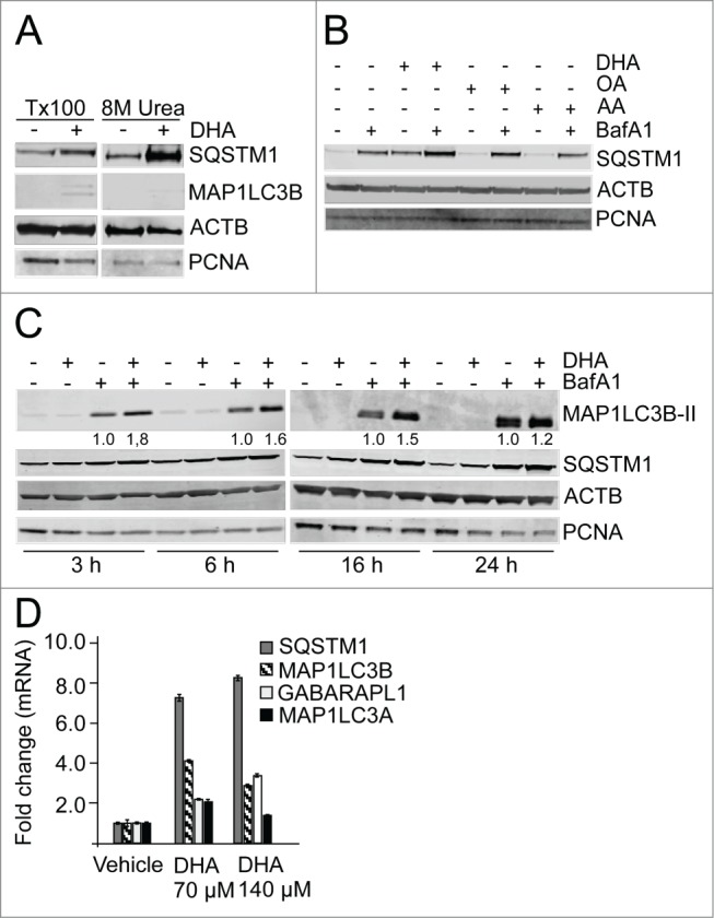 The n-3 PUFA DHA increases protein level of SQSTM1 and induces autophagy in ARPE-19 cells. ( A ) Cells were treated with DHA (70 µM) for 24 h and lysed in Triton X-100 (Tx100) buffer. Equal amounts of protein (20 µg) from T × 100 fraction were centrifugated at 10,000 x g and the pellet was dissolved in the same volume of 8 M urea buffer before loading on the gel. The membrane was immunoblotted for SQSTM1 and MAP1LC3B. β-actin (ACTB) and PCNA are used as loading controls. ( B ) The cells were treated with DHA, OA or AA (70 µM) with or without BafA1 (100 nM) for 16 h. Total cell extracts were immunoblotted for SQSTM1. ACTB and PCNA are used as loading controls. ( C ) Protein levels of SQSTM1 and MAP1LC3B determined by immunoblotting of cells treated with DHA (70 µM), BafA1 (100 nM) or a combination of DHA and BafA1 for the indicated time points. The numbers below the MAP1LC3B-II bands represent fold change relative to BafA1 for each time point normalized to PCNA intensity. ACTB and PCNA are used as loading controls. ( D ) The mRNA levels of SQSTM1, MAP1LC3B, MAP1LC3A , and GABARAPL1 relative to ACTB after DHA (70 and 140 µM) supplementation for 16 h determined by quantitative real-time PCR. qRT-PCR data displayed are representative for 2 independent experiments. Mean fold change from triplicate wells ± SD is displayed. Data shown are representative of 3 or more independent experiments, unless otherwise stated.