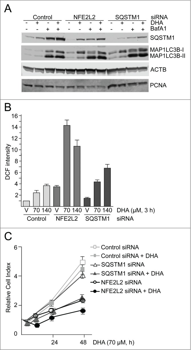 NFE2L2 and SQSTM1 are important in the cellular responses to DHA in ARPE-19 cells. ( A ) Cells were transfected with control, NFE2L2 and SQSTM1 siRNA (25 nM) and left for 24 h before reseeding. Following incubation for 24 h, the cells were added DHA (70 μM) or BafA1 (100 nM) for 24 h. Immunoblot for SQSTM1 and MAP1LC3B. ACTB/β-actin and PCNA were used as loading controls. ( B ) The cells were siRNA-transfected as in ( A ). After vehicle (V) and DHA (70 and 140 µM) treatment for 3 h changes in ROS levels were measured using a fluorescent ROS DCF probe. The data are representative for 2 independent experiments both performed in duplicates. The data represent the mean intensity ±SD of 10,000 cells per well and is displayed as relative DCF intensity. ( C ) Relative cell index after transfection with control, NFE2L2 or SQSTM1 siRNA (25 nM) after vehicle and DHA treatment (70 μM) based on real-time monitoring using the xCELLigence instrument. The cell index was normalized to one at the start of the experiment. Mean normalized cell index with standard deviation of triplicate wells of vehicle and DHA treated cells is displayed. Data shown are representative for 3 independent experiments.
