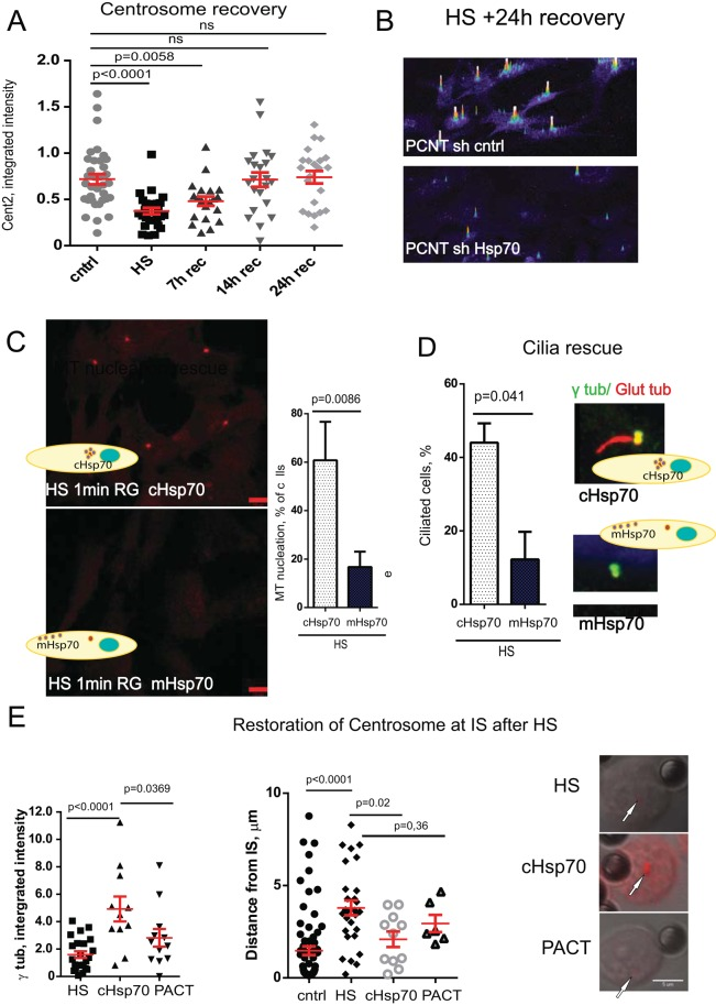 Hsp70 enables centrosome recovery, and protects centrosome functions after HS. (A) Semiquantitative analysis (×10 5 arbitrary units) of Centrin2 signal intensity shows centrosome disruption and recovery after HS during 24 h. (B) Semiquantitative intensity profiles of PCNT from cells recovered for 24 h at 37˚C after HS demonstrate that Hsp70 depletion impairs centrosome recovery. (C) Confocal microscopy images demonstrating rescue of MT regrowth early after microtubule depolymerization (α-tubulin, 1 min of regrowth) after HS in cells expressing the centrosome targeting protein cHsp70 but not the membrane-targeting protein mHsp70. Percentage of the cells positive for detectable MT regrowth 1 min after HS exposure in RPE cell lines expressing cHsp70 or mHsp70 (five experiments, 400–500 cells/sample, mean ± SD). (D) Percentage of the cells with cilia after HS in cells expressing cHsp70 or mHsp70 (three experiments, 400–500 cells/sample, mean ± SD). Maximum projections of ciliated cells (cilia marker, glutamylated tubulin, red; centrosome marker, γ-tubulin, green) after HS exposure in cells expressing cHsp70 or mHsp70. (E) Centrosomal Hsp70 protects centrosome from HS-induced damage in IS conjugates; left, ×10 5 arbitrary units, 10–40 centrosomes/sample, mean ±S EM; middle, distance between centrosome and IS, micrometers. Right, γ-tubulin, red, over DIC images; bar, 5 μm.