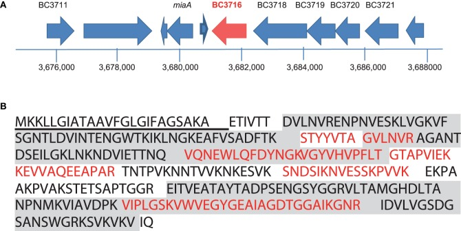 Identification of the  entD  gene, based on peptide mapping to the BC_3716 locus .  (A)  Genetic organization of the BC_3716 chromosomal region of  B. cereus  ATCC 14579. Large arrows represent the open reading frame identified in strain 14579, and their orientation shows the transcriptional direction. Only the names of ORF-encoding proteins with predicted metabolic functions are indicated.  (B)  Amino acid sequence of the  entD  product. Peptides detected by nanoLC-MS/MS are in red and boldfaced. The signal peptide is underlined. The SH3 domains located at the N terminus and the 3D domain located at the C terminus are colored in gray.