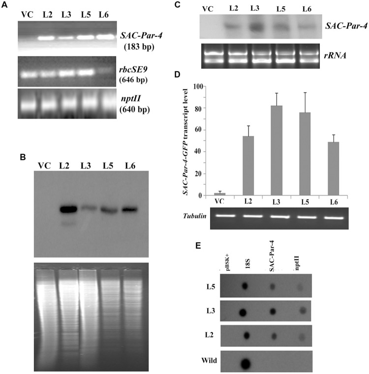 Transgenic analyses. (A) PCR amplification of different genes, viz. SAC-Par-4 (i); rbcSE9 (ii) and npt II (iii) from transgenic lines VC, L2, L3, L5, and L6 on 1.5% agarose gel; (B) Southern blot analysis to investigate SAC-Par-4 gene insertion in transgenic plant lines VC, L2, L3, L5, and L6. Underneath is the agarose gel picture showing Xho I digested genomic DNA (10 μg) of T 2 generation of four transgenic (L2, L3, L5, and L6 of SAC-Par-4-GFP) and vector control lines (prior blotting); (C) Northern blot analysis of SAC-Par-4 mRNA expression in transgenic plants VC, L2, L3, L5, and L6. Underneath is an ethidium bromide-stained gel showing rRNA quality; (D) Real-time analysis of SAC-Par-4 transcripts in VC, L2, L3, L5, and L6 lines. The data were normalized by tubulin transcripts. The data shown are mean values from three independent experiments. Bars indicate the standard errors of means; (E) Nuclear run-on assay of SAC-Par-4 transcripts. Dot blots were hybridized to 32 P-labeled nascent transcripts from wild-type plant and transgenic lines L2, L3, and L5 which were synthesized by run-on transcription. pBSK plasmid (1 μg) and 18S ribosomal DNA (0.5 μg) were used as controls.