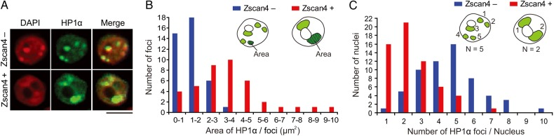 Heterochromatin clustering in the Zscan4 + cells. (A) Co-immunostaining of ES cells with an HP1α antibody (green) and a Zscan4 antibody (not shown). Red, DAPI. Scale bars, 5 µm. More examples are shown in Supplementary Fig. S2A . (B) Size distribution of nuclear foci stained with an HP1α antibody in the Zscan4 + cells (red bars) and in the Zscan4 − cells (blue bars). Average areas of each focus was 3.6 and 1.5 µm 2 in the Zscan4 + cells and in the Zscan4 − cells, respectively. n = 40. (C) Number distribution of nuclear foci stained with an HP1α antibody in the Zscan4 + cells (red bars) and in the Zscan4 − cells (blue bars). Average numbers of foci in each nucleus were 2.4 and 4.7 in the Zscan4 + cells and in the Zscan4 − cells, respectively. n = 60. See also Supplementary Fig. S6 .