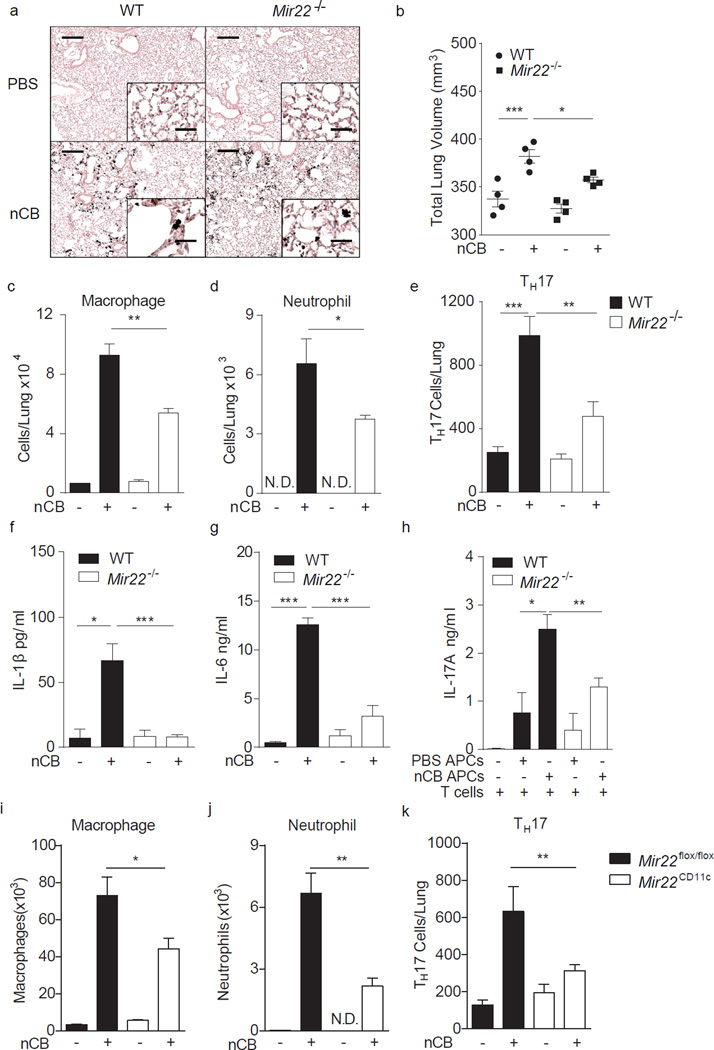 MiR-22 deficiency protects against nCB-induced emphysema in mice. WT and Mir22 −/− mice were exposed to vehicle (PBS) or nCB for one month. ( a ) Representative H E stained lung sections (of 4 total, 50× magnification; insets: 400×; scale bars: 200 µm; insets: 25 µm). ( b ) Micro-CT quantification of lung volume. Macrophages ( c ) and neutrophils ( d ) were quantified from BALF and total lung IL-17A + T H 17 cell ( e ) were assessed by flow cytometry. N.D.: not detected. Lung CD11c + cells were isolated and cultured ex vivo overnight and supernatants assayed for secreted IL-1β ( f ) and IL-6 ( g ) by ELISA. ( h ) Lung CD11c + APCs isolated from nCB or PBS exposed mice were co-cultured with naïve syngeneic CD4 + T cells ex vivo for 3 days and secreted IL-17A was measured by ELISA. ( i–k ) Mice lacking miR-22 in CD11c + APC ( Mir22 CD11c ) and control mice ( Mir22 flox/flox ) were exposed to PBS or nCB for one month after which macrophages ( i ) and neutrophils ( j ) were quantified from BALF and total IL-17A + T H 17 cells ( k ) were enumerated from whole lung. *: p