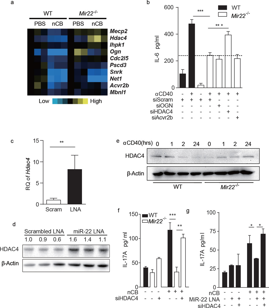 MiR-22 targets HDAC4 in APCs to promote IL-6 production. ( a ) Heat map depicting changes in the expression of miR-22 predicted target genes in wild type (WT) and Mir22 −/− CD11c + APCs stimulated with either vehicle (PBS) or nCB (Carbon). ( b ) WT or Mir22 −/− BMDCs were transfected with either scrambled control siRNA or indicated gene specific siRNAs and were stimulated with αCD40 antibody overnight. IL-6 production was measured by ELISA (n=5). ( c,d ) WT BMDCs were transfected with scrambled LNA (Scram) or miR-22 antisense LNA (miR-22 LNA). Expression of HDAC4 mRNA ( c , n=3, RQ: relative quantity to 18S) and protein ( d ) were determined by RT-qPCR and immunoblot. Numbers indicate the HDAC4/β-actin density ratio. ( e ) WT or Mir22 −/− BMDCs were stimulated with αCD40 antibody for the indicated time (hrs) and HDAC4 expression was determined by immunoblot. ( f ) WT and Mir22 −/− BMDCs were transfected with scrambled or HDAC4 siRNA (siHDAC4). ( g ) WT BMDCs were transfected with scrambled, miR-22 antisense LNA (MiR-22 LNA) and/or HDAC4 siRNA (siHDAC4). All BMDCs were primed with or without 1000ng nCB and co-cultured with WT naïve CD4 + T cells for 3 days and secreted IL-17A was measured by ELISA (n=4). *: p