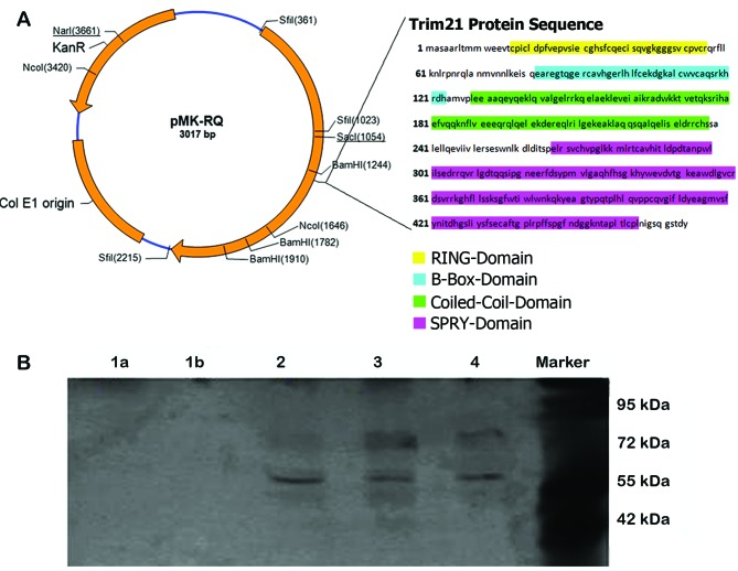TRIM21 domain. (A) (Left) Vector map of the used pMK-RQ vector (Life Technologies), (right) amino acid sequence of TRIM21 and the sequences of an individual domains. (B) Western blot analysis after native 12.5% polyacrylamide gel. Detection of TRIM21 with Li-Cor 800 anti-goat, detection of LFG with Li-Cor-680 anti-rabbit. Sample 1a (PRY domain), sample 1b (SPRY domain), sample 2 (coiled-coil domain), sample 3 (B-box domain), sample 4 (RING domain), marker (M). The samples 2–4 show clearly visible bands of ~80 and 60 kDa. The bands at 80 kDa are larger but slightly less visible as the bands at the height of 60 kDa. In samples 1a and 1b no bands are visible.