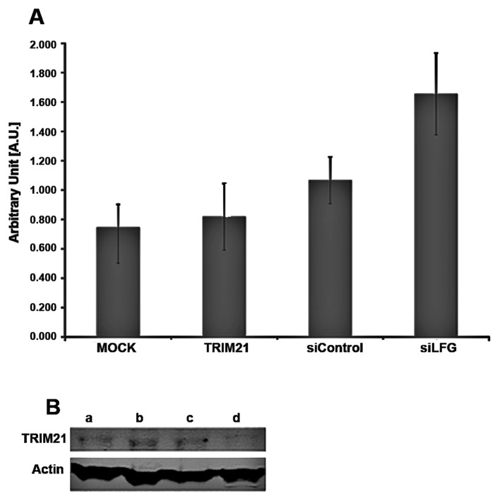 <t>Trim21</t> and LFG expression. (A) Results of real-time PCR-analysis of Trim21-expression after 24 h under different culture conditions. Mock, Untreated MDA-MB-231 as negative control, Trim21, 2.0 μl recombinant human Trim21 protein added to culture medium; siControl, adenoviral transfection of MDA-MB-231 with empty vector; siLFG, adenoviral transfection of MDA-MB-231 with vector coding for siRNA against LFG. (B) Expression analysis of LFG protein under different culture conditions by western blot analysis using 25 μg of total protein. a, Adenoviral transfection of MDA-MB-231 with vector coding for siRNA against LFG (24 h). b, Adenoviral transfection of MDA-MB-231 with empty vector. c, Untreated MDA-MB-231 as negative control. d, MDA-MB231 cultivated with 2.0 μg recombinant Trim21-protein in culture medium.