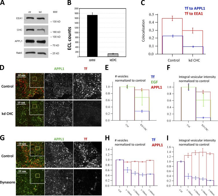 Cargo internalization into APPL endosomes is clathrin dependent but their biogenesis is not. (A) Silencing of CHC by RNAi in HeLa cells assessed by Western blot in comparison to EEA1, APPL1, and Rab5 as controls. (B) Internalization of biotinylated Tf (b-Tf) (after 30 min of continuous uptake) is inhibited upon CHC knockdown. The amounts of b-Tf in cell lysates were quantified by electrochemiluminescence. (C ) Knockdown of CHC decreased colocalization of Tf to EEA1 (red) and APPL1 (blue). Colocalization was quantified after 3.5-min chase after 0.5-min internalization pulse of Tf. (D–F) Knockdown of clathrin inhibits Tf uptake but does not affect the number of APPL1-positive vesicles. Example images of endogenous APPL1 and fluorescent Tf at 3.5-min chase after the 30-s internalization pulse in control and clathrin-depleted cells (D). Inset presents full image, yellow rectangle depicts zoomed part. The numbers of vesicles marked by APPL1 (red), Tf (blue) or EGF (green) (E) and their integral intensities (F) are plotted (quantifications based on 80 images and ∼320,000 APPL1 endosomes). (G–I) Dynasore treatment (from 10 to 60 min) does not affect the number of APPL1-positive vesicles but progressively suppresses Tf uptake (10 min of Tf internalization). (G) Example images of HeLa cells treated with Dynasore (80 µM) for 60 min. The numbers of vesicles marked by APPL1 (red) and Tf (blue) (H) and their integral intensities (I) in cells pretreated with Dynasore for the indicated times are plotted (quantifications based on 10 images, ∼110 cells, and ∼45,000 APPL1 endosomes). Bars: (D and G, inset) 10 µm.