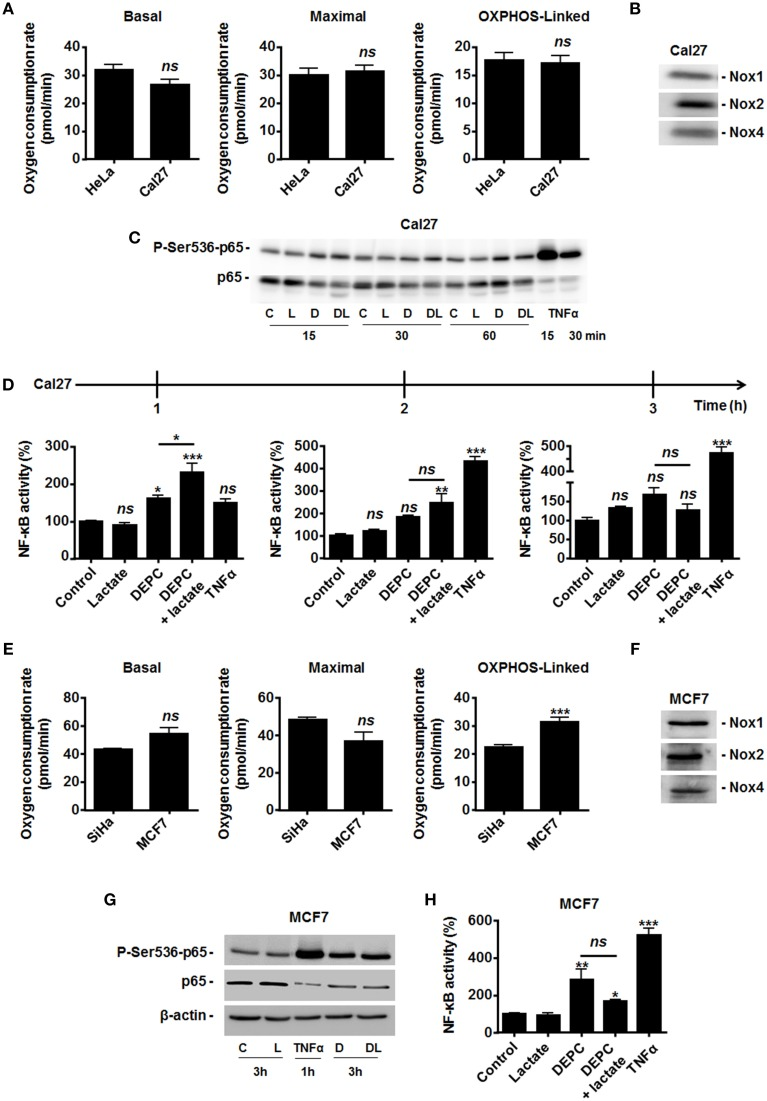 Inhibition of the malate-aspartate shuttle restores the ability of lactate to activate NF-κB in oxidative Cal27 tumor cells . (A) The basal, maximal and OXPHOS-dependent oxygen consumption rates of HeLa and Cal27 human tumor cells were determined using Seahorse bioanalysis ( n ≥6). (B) Representative western blots showing Nox1, Nox2, Nox4 expression in Cal27 cells. (C) Cal27 cells were treated for the indicated amounts of time with vehicle (control, C), 1 mM of diethyl <t>pyrocarbonate</t> (DEPC, D), 10 mM Lactate (L), the combination of DEPC and lactate (DL), or TNFα (20 ng/ml), after which p-Ser536-p65 and total p65 were detected in cell lysates. Representative western blots are shown. (D) Cal27 cells were treated as in (C) except that NF-κB activity was determined using a dual luciferase reporter assay 1, 2, and 3 h after treatment ( n = 4). (E) The basal, maximal and OXPHOS-dependent oxygen consumption rate of SiHa and MCF7 human tumor cells were determined using Seahorse bioanalysis ( n ≥6). (F) Representative western blots showing Nox1, Nox2, Nox4 expression in MCF7 cells. (G) MCF7 cells were treated for 3 h with vehicle (control, C), 1 mM of DEPC (D), 10 mM of L-Lactate (L) or combination (DL), after which p-Ser536-p65, total p65 and β-actin were detected in cell lysates. A 1-h treatment with TNFα was used as positive control. Representative western blots are shown. (H) Same as in (G) except that NF-κB activity was determined using a dual luciferase reporter assay ( n = 4). All data represent means ± SEM. * P