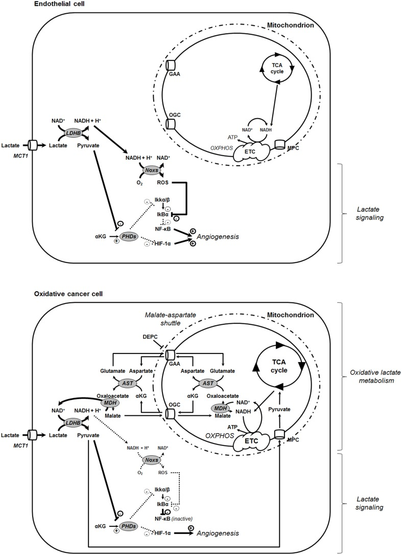 Model showing that the oxidative use of NADH opposes NF-κB activation by lactate in oxidative tumor cells . In tumors, endothelial cells ( top ) and oxidative tumor cells ( bottom ) take up lactate, a process facilitated by the passive lactate-proton symporter monocarboxylate transporter 1 (MCT1). Both cell types convert lactate + NAD + to pyruvate + NADH + H + intracellularly (the lactate dehydrogenase B [LDHB] reaction). Pyruvate competes with α-ketoglutarate (αKG) to inhibit prolylhydroxylases (PHDs), resulting e.g., in the stabilization of hypoxia-inducible factor-1 subunit α (HIF-1α) (Vegran et al., 2011 ; De Saedeleer et al., 2012 ; Sonveaux et al., 2012 ). Endothelial cells do not use lactate-derived pyruvate and NADH as oxidative fuels (Sonveaux et al., 2012 ), thus further rendering NADH available to fuel NAD(P)H oxidases (Noxs) (Vegran et al., 2011 ). Together with pyruvate-mediated PHD inhibition, the production of reactive oxygen species (ROS) by Nox accounts for lactate-induced activation of nuclear factor-κB (NF-κB) in these cells. Comparatively, oxidative tumor cells use lactate (Sonveaux et al., 2008 ) and NADH (this study) as oxidative fuels. It renders these cells insensitive to lactate-induced NF-κB activation. NADH influx in mitochondria is controlled by the malate-aspartate shuttle gated by the oxoglutarate carrier (OGC, a malate-αKG exchanger) and by the glutamate-aspartate antiporter (GAA). Consequently, inhibiting the malate-aspartate shuttle can restore the ability of lactate to activate NF-κB in oxidative tumor cells, as illustrated in this study with HeLa cells treated by GAA inhibitor diethyl pyrocarbonate (DEPC). Other abbreviations: AST, aspartate aminotransferase; ETC, electron transport chain; IκBα, inhibitor and Cal27 of NF-κB α; Ikkα/β, inhibitor of NF-κB kinase α/β; MDH, malate dehydrogenase; MPC, mitochondrial pyruvate carrier; OXPHOS, oxidative phosphorylation.