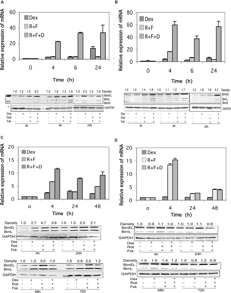 """Bim expression in CEM and MM.1 cells. (A) Quantitative real-time PCR analysis of Bim mRNA expression in CEM-S2 cells (top), at different times following treatment with 1 μM dexamethasone (Dex), 10 μM rolipram plus 10 μM forskolin (R+F) or 1 μM dexamethasone plus 10 μM rolipram plus 10 μM forskolin (R+F+D) as indicated. Data represent the mean ± SD of at least two independent experiments assayed in triplicate, shown as fold change relative to control. (bottom), Western blot analysis of expression of Bim protein. Cells were treated at different times with dexamethasone and/or rolipram and forskolin as indicated, and Bim protein expression was determined by immunoblots of whole cell lysates. Equal amounts of protein (20 μg) were loaded per lane. Data shown represents one of at least two independent experiments with similar results. The numbers at the top of the Western blot images represent the BimEL band densities following different treatments relative to control, normalized based on the density of the GAPDH housekeeping protein, calculated as described in Section """"Materials and Methods."""" (B) CEM-R8 cell Bim mRNA (top) and protein (bottom) expression. (C) Bim mRNA (top) and protein (bottom) expression in MM.1S cells. (D) Bim mRNA (top) and protein (bottom) expression in MM.1R cells. Conditions were as in (A) ."""