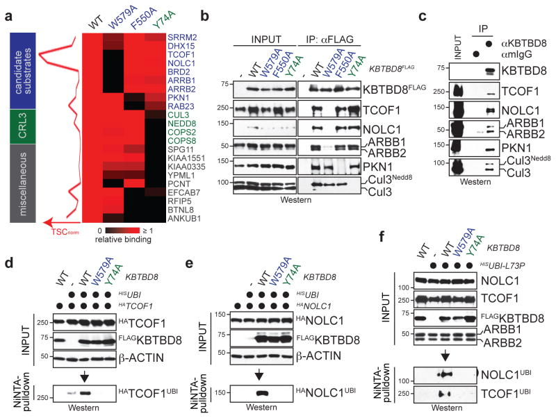 CUL3 KBTBD8 monoubiquitylates TCOF1 and NOLC1 a. High-confidence interactors of wt- or mutant KBTBD8. Left: normalized TSCs per interactor of wt-KBTBD8 (sum of 3 biological replicates/condition). Right: heatmap depicting binding relative to wt-KBTBD8. b. Verification of KBTBD8 interactions in 293T cells by αFLAG-immunoprecipitation and Western. c. Immunoprecipitation of KBTBD8 from hESCs (full scans in Supplementary Fig. 1 ). d. Ubiquitylated HA TCOF1 detected after denaturing Ni-NTA purification in 293T cells reconstituted with KBTBD8 variants e. Monoubiquitylation of HA NOLC1 by CUL3 KBTBD8 in 293T cells. f. Monoubiquitylation of endogenous TCOF1 and NOLC1 in 293T cells reconstituted with KBTBD8 variants and HIS ubiquitin L73P .