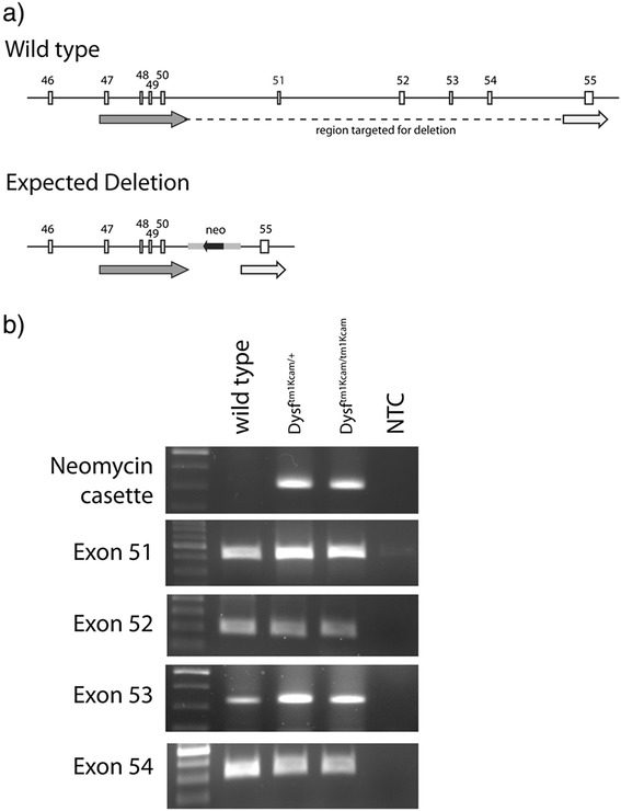 Detection of the locus targeted for deletion in homozygous Dysf tm1Kcam mice. a Schematic drawing of the wild-type locus and the expected deletion. The arrows depict the two homologous arms used for targeted deletion. b Results of a genotyping PCR using DNA from toe biopsies of wild type, heterozygous mutant ( Dysf tm1Kcam/+ ), and homozygous mutant ( Dysf tm1Kcam/tm1Kcam ) mice, as well as a no template control (NTC). As expected, PCR to detect the targeting vector was negative for wild type mice, and positive for heterozygous and homozygous Dysf tm1Kcam mice. However, PCR to amplify the sequence encompassing exons 51–54, which had been targeted for deletion in generating the Dysf tm1Kcam line, was positive in all mice, suggesting that homologous recombination had failed to delete the targeted region