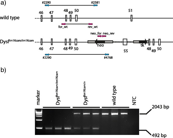 Novel <t>genotyping</t> PCR of Dysf tm1Kcam . a Schematic drawing of the targeted dysferlin locus in wild type and Dysf tm1Kcam mice, with binding sites of primers used for genotyping shown in pink . The genotyping primers previously described by Han et al. [ 12 ] are depicted in blue (#2290, #2581, #4768). b Results of a genotyping PCR using DNA from toe biopsies of homozygous mutant ( Dysf tm1Kcam/tm1Kcam ), heterozygous mutant ( Dysf tm1Kcam/+ ), and wild type mice, as well as a no template control (NTC)