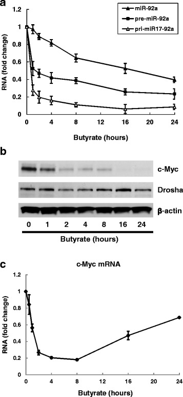 Time course of changes in expression of miR-92a, c-Myc, Drosha and p57 following butyrate treatment. HCT116 human colon cancer cells were treated with 2 mM butyrate for up to 24 h. Cells were harvested for analysis at 1, 2, 4, 8, 16, and 24 h after treatment. a The abundance of pri-miR-17-92a, pre-miR-92a, and mature miR-92a was measured using qPCR. Bars represent means ± SEM. n = 3. b Protein levels of c-Myc, Drosha and β-actin were analyzed by immunoblotting. The image shown is representative of three individual experiments. c The abundance of c-Myc mRNA was measured using qPCR. Bars represent means ± SEM. n = 3