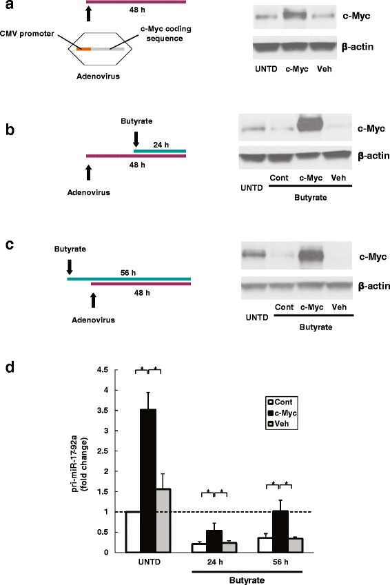 c-Myc-induced over-expression of pri-miR-17-92a was attenuated by butyrate treatment. HCT116 human colon cancer cells were infected with adenovirus carrying the c-Myc coding sequence driven by a CMV promoter to overexpress c-Myc (cMyc) or a null virus vehicle (Veh) for 48 h before analysis. Cells without virus infection were analyzed as control (Cont). The effects of treatment with 2 mM butyrate was assessed using three experimental designs: a no butyrate treatment, b 24-h treatment prior to cell harvest, and c ) 56-h treatment starting 8 h prior to virus infection. Untreated cells (UNTD) were assessed as control. Protein levels of c-Myc and β-actin were analyzed by immunoblotting. Images shown are representative of three individual experiments. d The abundance of pri-miR-17-92a was measured using qPCR. Bars represent means ± SEM. * P
