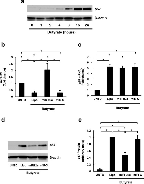 Over-expression of miR-92a attenuates butyrate-induced p57 expression by blocking p57 translation. a HCT116 human colon cancer cells were treated with 2 mM butyrate for up to 24 h. Cells were harvested for analysis at 1, 2, 4, 8, 16, and 24 h after treatment. Protein levels of p57and β-actin were analyzed by immunoblotting. The image shown is representative of three individual experiments. b HCT116 cells were transfected with miR-92a mimetics or control miRNA (miR-C) using Lipofectamine 2000 then treated with 2 mM butyrate for 24 h prior to harvest. Cells without butyrate treatment (UNTD) or treated with Lipofectamine 2000 (Lipo) were analyzed as controls. The abundance of miR-92a was measured using qPCR. c p57 mRNA levels were measured using qPCR. d Protein levels of p57 and β-actin were analyzed by immunoblotting. The image shown is representative of four individual experiments. e Normalized densitometric values of p57 protein levels. Bars represent means ± SEM. * P