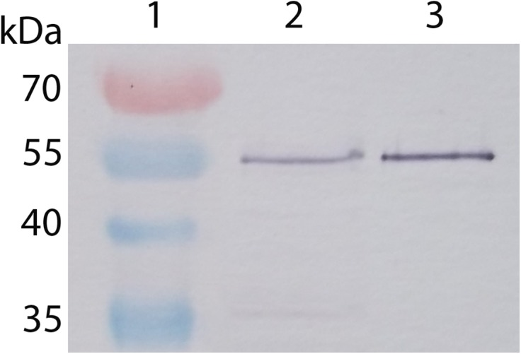 Pageruler Prestained Protein Ladder Thermo Fisher Bioz
