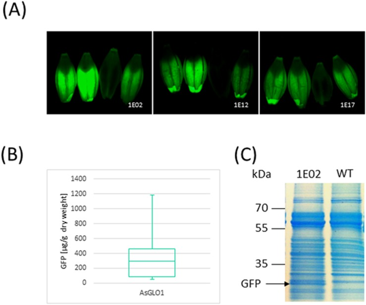 Establishment of an endosperm transgene expression system. (A) Fluorescence microscopy of four grains expressing GFP driven by the oat GLO1 promoter. (B) Quantification of GFP based on Western blotting with an anti GFP antibody. (C) Total soluble protein profile obtained by Coomassie Brilliant Blue staining of 12% SDS-PAGE separations of extracts of a T 3 selection of line BG136/1E02-14-4 expressing GFP .
