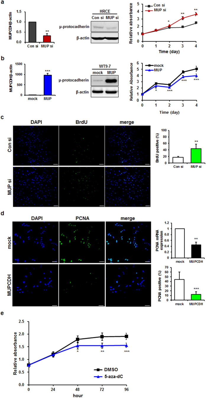 Inhibitory effect of MUPCDH on cell proliferation. ( a ) Knockdown of the MUPCDH gene increased cell survival in human renal cortical epithelial (HRCE) cells. ( b ) Overexpression of the MUPCDH gene decreased cell growth of WT9-7 cells. ( c ) 5-bromo-2′-deoxyuridine (BrdU) incorporation assays were carried out using HRCE cells that had been transfected with MUPCDH short interfering <t>RNA</t> (siRNA) or control siRNA. ( d ) Proliferating cell nuclear antigen (PCNA) staining carried out using HEK293T cells that overexpressed the MUPCDH gene. The level of PCNA expression was also measured by real-time quantitative reverse transcription polymerase chain reaction <t>(qRT-PCR).</t> β-Actin was used as an internal control in real-time qRT-PCR assays. ( e ) Cell proliferation rate was measured using a cell proliferation assay kit (WST-1) following treatment of WT9-7 cells with 5-aza-2′-deoxycytidine (5 μM). The experiment was performed in triplicate. * P