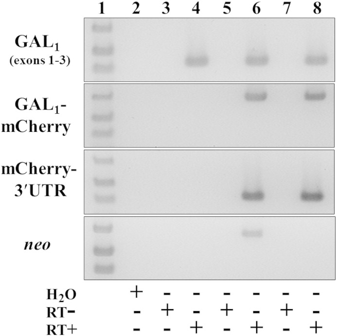 The knocked-in GalR1 -mCherry gene is expressed and correctly spliced in adult DRG by RT-PCR analysis. Wild-type control (lanes 3 and 4), heterozygous GalR1 -mCherry-[ neo + ] knock-in (lanes 5 and 6) and homozygous GalR1 -mCherry-[Δ neo ] knock-in mice (lanes 7 and 8) each expressed the correctly spliced product of GalR1 exons 1–3 coding sequences ( top panel , lanes 4, 6 and 8; 430 bp), whereas only knock-in mice express both the spliced product of GalR1 exons 1–3 fused to mCherry (637 bp) and mCherry to the heterologous 3′-UTR (431 bp) ( middle panels , lanes 6 and 8). Expression of neo was only detected in heterozygous GalR1 -mCherry-[ neo + ] knock-in mice ( bottom panel , lane 6; 630 bp). Knock-in mice were each of line 33. Lane 1 is a DNA ladder (1 kb Plus, Life Technologies) showing bands of 400, 500 and 650 bp; lane 2 is a water control; other even-numbered lanes are RT-PCRs using reverse transcribed RNA; and other odd-numbered lanes are corresponding reactions using RNA that has not been reverse transcribed (RT − controls), in which no products were detected.
