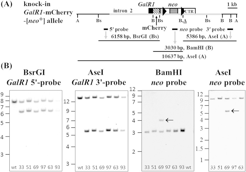 Southern blot analysis of ES cell clones validates correct insertion of the GalR1 -mCherry-[ neo + ] targeting construct. (A) Schematic diagram of the knock-in GalR1 -mCherry-[ neo + ] allele showing the relative locations of: the targeting construct (grey horizontal thickened line); GalR1 exon 3 coding sequence (CDS; black filled box); mCherry CDS (diagonal banded box); the heterologous 3′-UTR (grey filled box); downstream FRT sites (right arrowheads) flanking an SV40- neo cassette selection marker; the endogenous 3′-UTR (UTR); restriction sites AseI (A), BsrGI (Bs), BamHI (B) and an introduced AseI restriction site immediately downstream of the 3′ FRT site ( A ); external 5′ and 3′ probes, neo probe, and hybridizing DNA fragments (see main article, Fig. 1 A, for corresponding diagram of the endogenous allele). (B) DNA from six potential heterozygous GalR1 -mCherry-[ neo + ] knock-in ES cell clones (33, 51, 63, 69, 93 and 97) and control wild-type mouse tail (wt) were digested and hybridized with: BsrGI and GalR1 5′ external probe (endogenous 7821 bp and knock-in 6158 bp; under-exposure for clone 93); AseI and GalR1 3′ external probe (endogenous 12,924 bp and knock-in 5386 bp); BamHI and neo probe (knock-in 3030 bp); or AseI and neo probe (knock-in 10,637 bp). The relative distance travelled by DNA ladder fragments (1 kb Plus, Life Technologies) are indicated in kb on the left of each panel. Neo was not detected in control wild-type mouse tail DNA, but an additional insertion of neo -hybridizing DNA was detected in ES cell clone 69 (arrowed) that was distinguishable from the correctly inserted knock-in fragment by digestion with BamHI or AseI. This additional neo insertion is due to only a fragment of introduced DNA ( Fig. 1 A, a grey horizontal thickened line), as the neo -hybridizing portion of AseI-digested DNA must be of at least 7366 bp which is larger than the additional hybridizing band of approximately 5500 bp, and quantitative genomic PCR detected only one copy of GalR1 -mCherry.