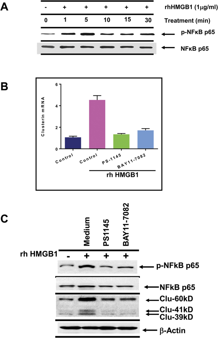 Down-regulation of clusterin expression after inhibition of NFκB-p65 phosphorylation. ( A ) Recombinant <t>HMGB1,</t> added to DU145 tumor cells, enhanced NFκB-p65 phosphorylation within 1–5 min, as analyzed by western blot. ( B,C ) DU145 tumor cells, pretreated with medium, 20 μM PS1145 or 10 μM BAY11-7082 for 1 h, were cultured with HMGB1 for another 24 h. Cells were then lysed for analysis of clusterin mRNA expression by Q-PCR or clusterin protein expression by western blot. Analysis of phosphorylated NFκB-p65 was included to check for effectiveness of the inhibitors.