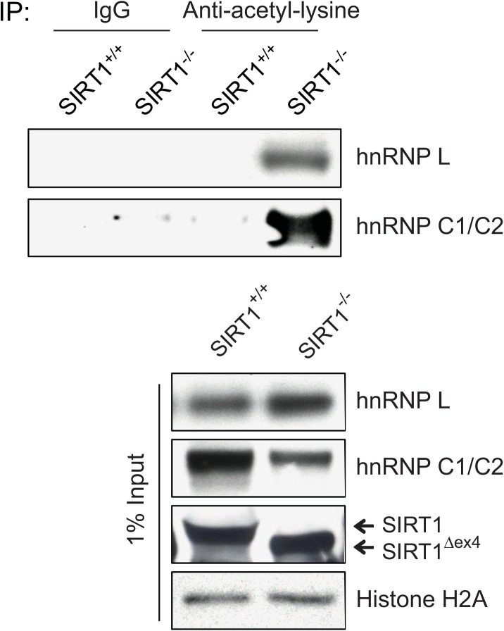 SIRT1 deacetylates hnRNP L and hnRNP C1/C2 in vivo . Acetylated proteins were immunoprecipitated using the pan-acetyl-lysine antibody from the liver extracts of SIRT1 +/+ and Sirt1 -/- mice. The amounts of acetylated hnRNP L and hnRNP C1/C2 proteins were evaluated by their corresponding antibodies in the IP samples. The protein levels of hnRNP L, hnRNP C1/C2 and SIRT1 were assessed by western blotting using the corresponding antibodies. Histone H2A was used as a loading control.