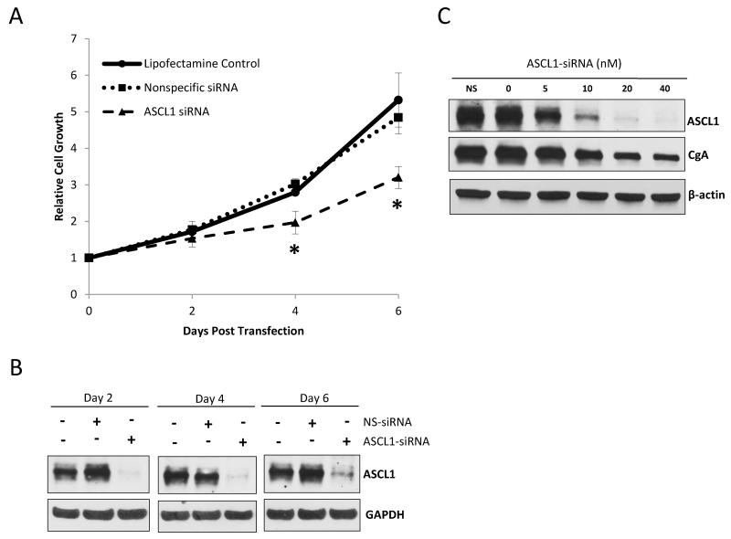 ASCL1 suppression inhibits BON cell proliferation and CgA expression Treatment with an ASCL1 -specific siRNA resulted in an inhibition in BON cell proliferation over a 6 day period. A MTT cell viability assay was performed every 2 days, and optical densities were normalized to values starting from the day of transfection. No effect was observed on cell proliferation among cells treated with the nonspecific-siRNA (NS-siRNA) relative to cells treated with Lipofectamine 2000 ® alone (no siRNA). Data is graphed ± SEM (*p