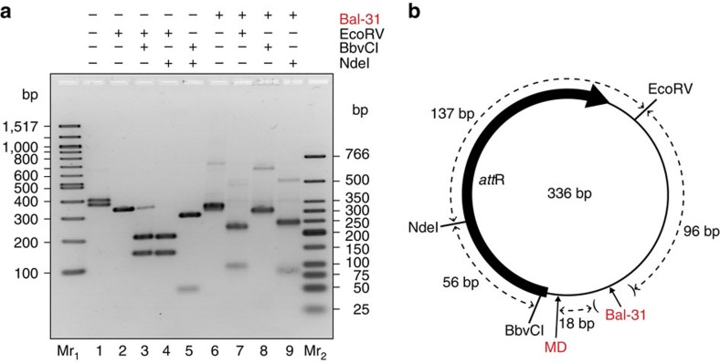 Mapping Bal-31 cleavage. To determine whether Bal-31 cleavage occurs at multiple sites or at a preferred site, the Δ Lk =−6 topoisomer was cleaved with Bal-31 and various restriction enzymes. ( a ) Products were separated by agarose gel electrophoresis. Left, (lanes 1–5), control reactions, mc336 (approximately equal mixture of Δ Lk =−2 and Δ Lk =−3 topoisomers) with combinations of the various restriction enzymes (as indicated) to generate fragments of known DNA lengths. Right, (lanes 6–9), Δ Lk =−6 topoisomer cleaved first with Bal-31, followed by a restriction enzyme (as indicated). Mr 1 : 100 bp DNA ladder, Mr 2 : Low molecular weight DNA ladder. ( b ) Map of the minicircle sequence showing the positions of the restriction enzymes used, the estimated location of Bal-31 cleavage (with parentheses indicating the range), and the location of the observed base-pair breaking in MD simulation of the Δ Lk =−3 topoisomer.