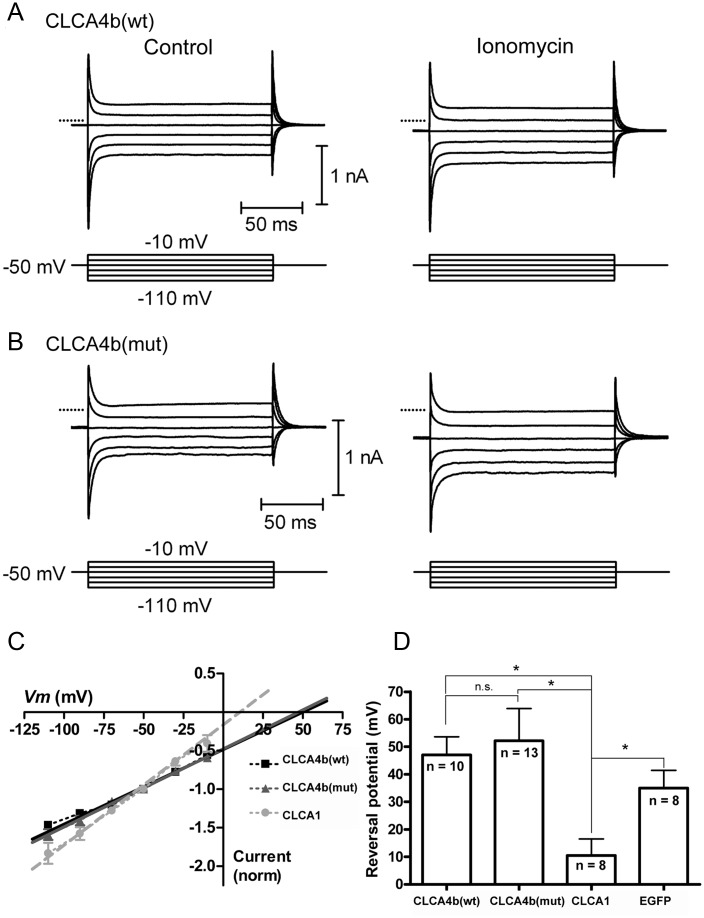 CLCA4b does not evoke a calcium-dependent chloride current characteristic of other CLCA family members. (A) Currents were evoked in HEK293 cells expressing CLCA4b (wt) by a series of voltage steps (150 ms, -110 to -10 mV) before (left) and after (right) application of the calcium ionophore ionomycin (10 μM). Ionomycin stimulated an inward current at the holding potential of -50 mV and increased the amplitude of step-evoked currents. (B) Similar experiment for HEK293 cells expressing CLCA4b (mut). In A and B, zero current is indicated by the dotted lines. (C) Current-voltage relationship for the difference currents were obtained by subtracting the step-evoked currents before from those after ionomycin application. Linear extrapolation was used to determine the reversal potential (E rev ) for the ionomycin-stimulated currents which were normalized to the current at the holding potential (-50 mV). (D) Mean E rev for ionomycin-stimulated currents in cells expressing CLCA4b (wt) (n = 10), CLCA4b (mut) (n = 13), CLCA1 (n = 8), serving as a positive control, or EGFP alone (n = 8), which served as a negative control. *p