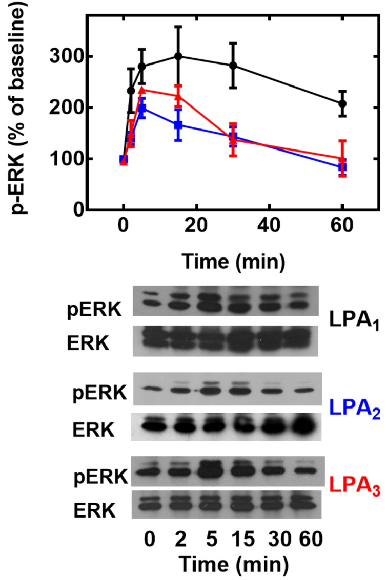 Effect of LPA on ERK 1/2 phosphorylation. Cells overexpressing LPA 1  (black, circles), LPA 2  (blue, squares) or LPA 3  (red, triangles) receptors were incubated for the times indicated in the presence of 1 μM LPA, incubation was terminated and phospho-ERK 1/2 (pERK) and total ERK 1/2 (ERK) were assayed by Western blotting. Plotted are the increases in phospho-ERK 1/2 as mean ± S. E. M. of 4–5 experiments using different cell preparations. Representative Western blots are presented for the different receptor subtypes.