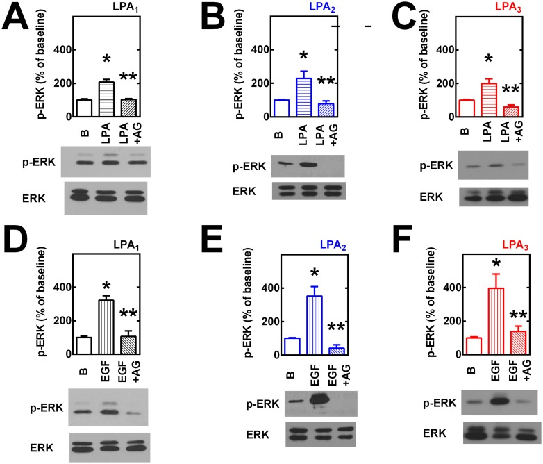 Transactivation of EGF receptors in LPA-induced ERK 1/2 phosphorylation. Cells overexpressing LPA 1  (panels A and D), LPA 2  (panels B and E) or LPA 3  (panels C and F) receptors were incubated in the absence or presence of 10 μM AG1478 (AG) for 30 min and then challenged with 1 μM LPA (panels A-C) or 100 ng/ml EGF (panels D-F) for 5 min; incubation was terminated and phospho-ERK 1/2 (pERK) and total ERK 1/2 (ERK) were assayed by Western blotting. Plotted are the increases in phospho-ERK 1/2 as mean ± S. E. M. of 4–5 experiments using different cell preparations. Representative Western blots are presented for the different receptor subtypes. *p