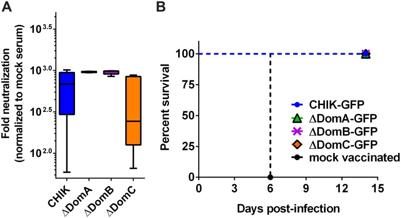 Protection and neutralizing antibody response elicited by chimeric CHIKV/SFV. Adult C57bl/6 mice (n = 6) were infected with 10 5 PFU of CHIK, SFV, or chimeric viruses (ΔDomA, ΔDomB or ΔDomC) in the left hind footpad. Two months later, mice were bled for neutralizing antibodies and challenged with 10 5 PFU SFV. A) Levels of neutralizing antibodies against SFV were measured by incubating serum from vaccinated mice with a SFV construct expressing nano-luciferase overnight at 4°C. The next day, the virus:serum mixture was used to infect BHK-21 cells in 96 well plates. After one hour adsorption period, cells were washed and fresh media was added. After five hours infection, cells were lysed and luciferase signal measured. Relative luminescence was normalized to a mock vaccinated control serum. SFV is not included as all infected mice rapidly succumbed to infection. B) Challenged mice were monitored for 15 days following infection. Data are expressed as percent survival.
