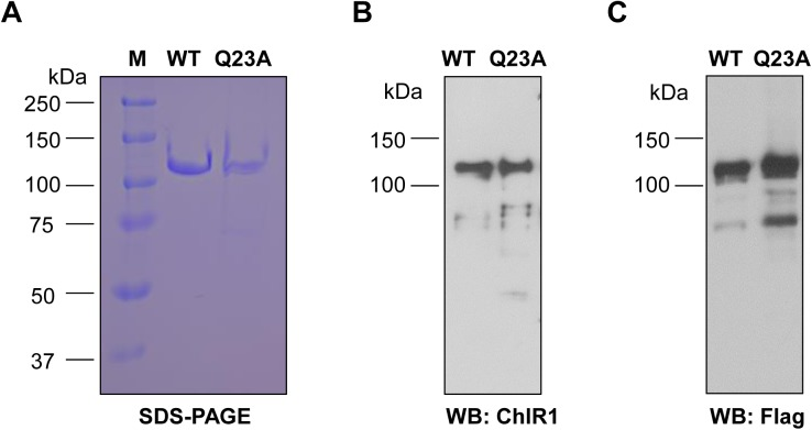 Purification and identification of ChlR1 proteins. ( A ) ChlR1 proteins (WT and Q23A) were purified and electrophoresed on SDS-polyacrylamide gel and stained with Coomassie blue. ( B-C ) Western-blot analysis of the purified proteins with antibodies ChlR1 ( B ) and FLAG ( C ).
