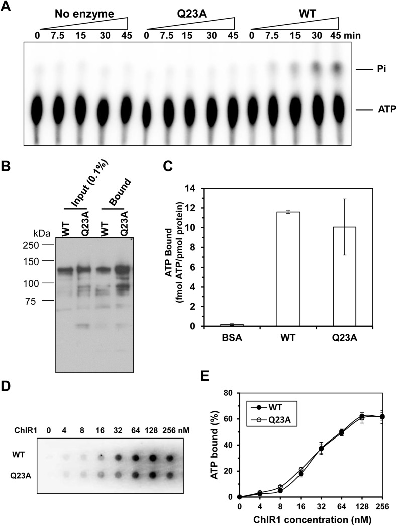 """ATP hydrolysis and ATP binding assays of ChlR1 proteins. ( A ) A representative image of ChlR1 ATP hydrolysis detected by TLC. ( B ) ATP binding by ChlR1 proteins was determined by ATP agarose (Jena Bioscience) as described in """"Materials and methods"""", followed by Western blot with an anti-FLAG antibody. ( C ) ATP binding by wild-type ChlR1 and mutant protein. α 32 P-ATP binding to ChlR1-WT and ChlR1-Q23A was performed by gel filtration chromatography as described in """"Materials and methods"""". The same amount of protein was used, and the total amount of bound ATP was divided by protein and presented as fmol ATP per pmol protein. BSA was used as a control. ( D ) A representative image of filter dot blot assays of ChlR1 proteins binding α 32 P-ATP. ( E ) Quantitative analyses of ATP bound to ChlR1 proteins in panel D. Data represent the mean of at least three independent experiments with SD indicated by error bars."""