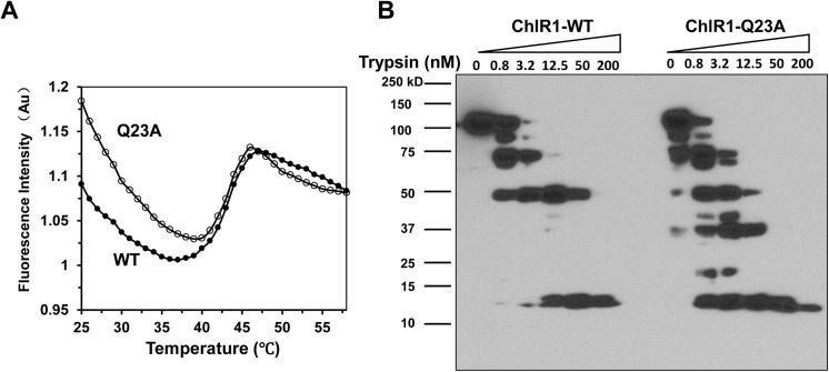 Thermal stability assays and partial proteolysis mapping of ChlR1 proteins. ( A ) Unfolding curves of ChlR1-WT and ChlR1-Q23A over a temperature range from 25 to 60°C. ( B ) Representative image of partial proteolysis mapping of ChlR1 proteins. Purified ChlR1 proteins (WT and Q23A) were digested with increasing trypsin concentration, and protein fragments were separated on SDS-PAGE followed by Western blot analysis using an anti-FLAG antibody.