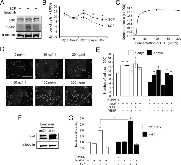 c-kit activation promotes growth of human c-kit+ CPCs under serum starvation. A, Activation of c-kit by SCF in human c-kit+ CPCs. CPCs were either treated with SCF (100 ng/ml) alone for 10 minutes or co-treated with imatinib. Cell lysate was analyzed by Western blot for the indicated proteins. p-c-kit, phosphorylated (i.e., activated) c-kit. B, Effect of SCF on cell growth. CPCs were serum starved for 24 hr and treated with SCF. The number of cells remaining was counted at the indicated time points. C, Dose-response relationship between SCF and CPC growth. CPCs were serum starved for 24 hr followed by treatment with varying concentrations of SCF, and the number of cells remaining after 3 days was determined. D, Representative DAPI nuclear staining images of SCF-treated CPCs described in panel C. E, Comparison of SCF with bFGF and VEGF in promoting growth of CPCs. CPCs were serum starved for 24 hr and treated with SCF, bFGF, or VEGF either individually or in combination, and the number of cells were counted on days 5 and 9 of treatment. F, Human c-kit+ CPCs were transduced with lentivirus expressing mCherry (control) or c-kit. Cell lysates were obtained at 4 days post-viral transduction and immunoblotted for c-kit and α-tubulin (loading control). G, mCherry or c-kit-expressing CPCs were serum starved for 24 hr and cultured for 3 days in the presence (+) or absence (-) of SCF and/or imatinib as indicated. Cell viability was assessed using PrestoBlue TM as described. Values were normalized to the DMSO (vehicle) control. Values are presented as mean ± SEM. *, p