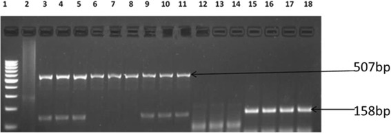 Gel image of amplicons obtained from multiplex PCR with primers designed for bla - CMY and bla - CXT-M resistance genes of E coli isolates recovered from this study. Lane 1 is molecular size markers (100 bp), lane 2 is negative control (PCR mix without DNA) while lanes 3 to 18 are bla- CMY (507bp) and bla- CXT-M (158 bp) genes from O157 strains isolated in this study