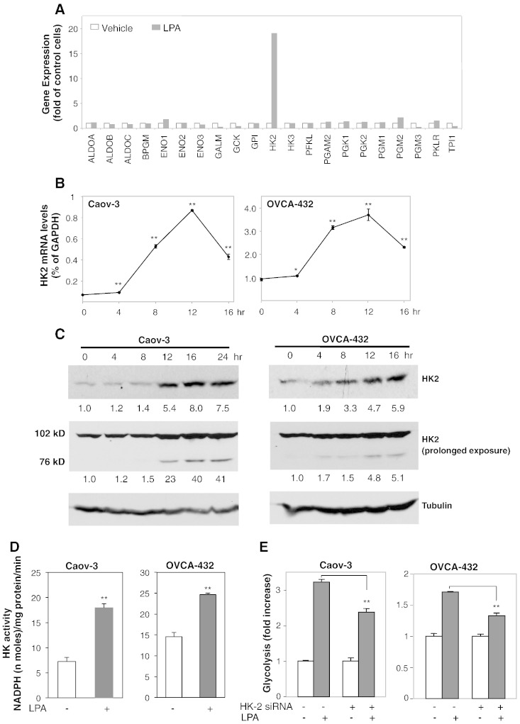 LPA stimulates expression of HK2. (A) Caov-3 cells were treated with LPA (10 μM) or vehicle (BSA) for 12 hours. The human glucose metabolism RT 2 profiler PCR array was performed on cDNAs prepared from total cellular RNA as described in Experimental Procedures. Expression levels of glycolytic genes were normalized on GAPDH and then compared between LPA-treated and control cells and presented as fold changes over vehicle controls (defined as arbitrary 1). (B, C) Caov-3 and OVCA-432 cells were treated with LPA (10 μM) for the indicated periods of time (hours). Induction of HK2 mRNA (B) and protein (C) was analyzed by RT-qPCR and immunoblotting, respectively. HK2 protein levels were quantified by densitometry and presented as fold changes relative to control cells. (D) Hexokinase activity was determined in Caov-3 and OVCA-432 cells treated for 16 hours with LPA or vehicle and presented as nanomoles/mg protein/min at 37 °C. (E) HK-2 expression was down-regulated by HK2 specific siRNA in Caov-3 and OVCA-432 cells. LPA-induced glycolysis in HK-2 knockdown and control siRNA-treated cells were determined as described in Figure 1 .